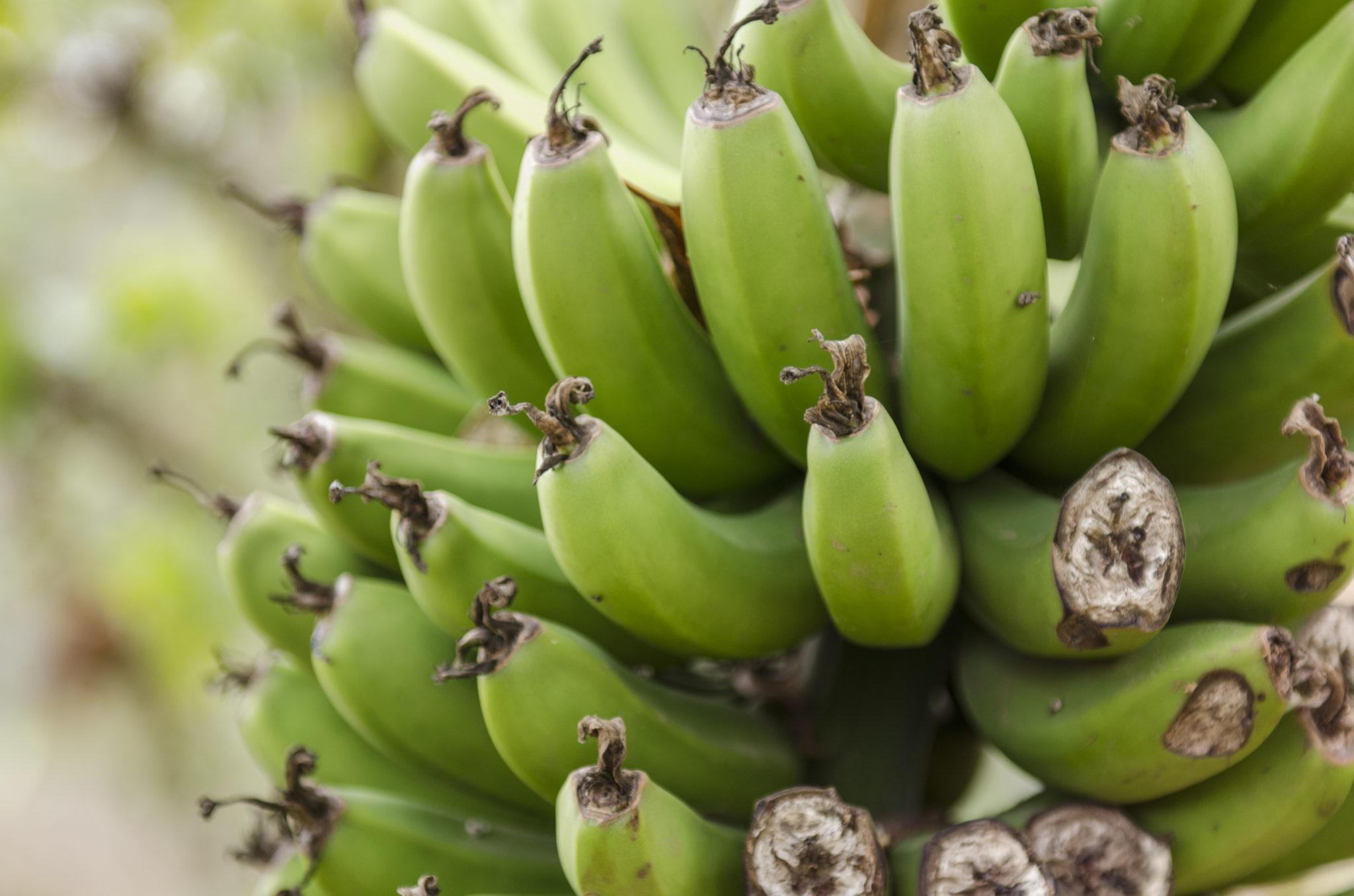 Aethiopien-Sehenswuerdigkeiten-Nahrung-Bananen