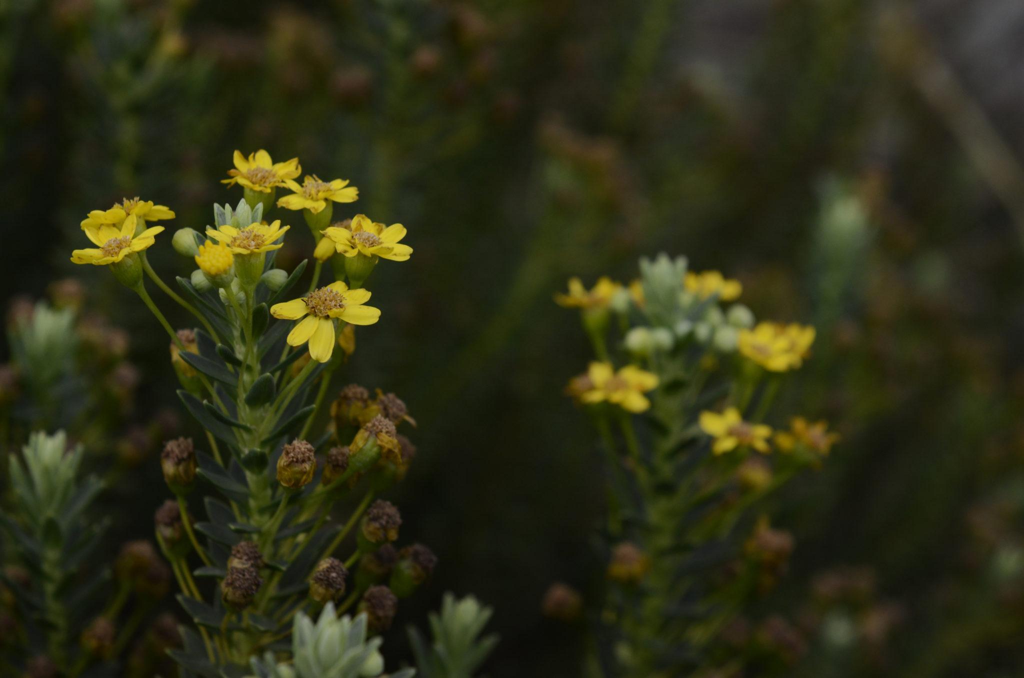 Blumen in den Drakensbergen in Südafrika