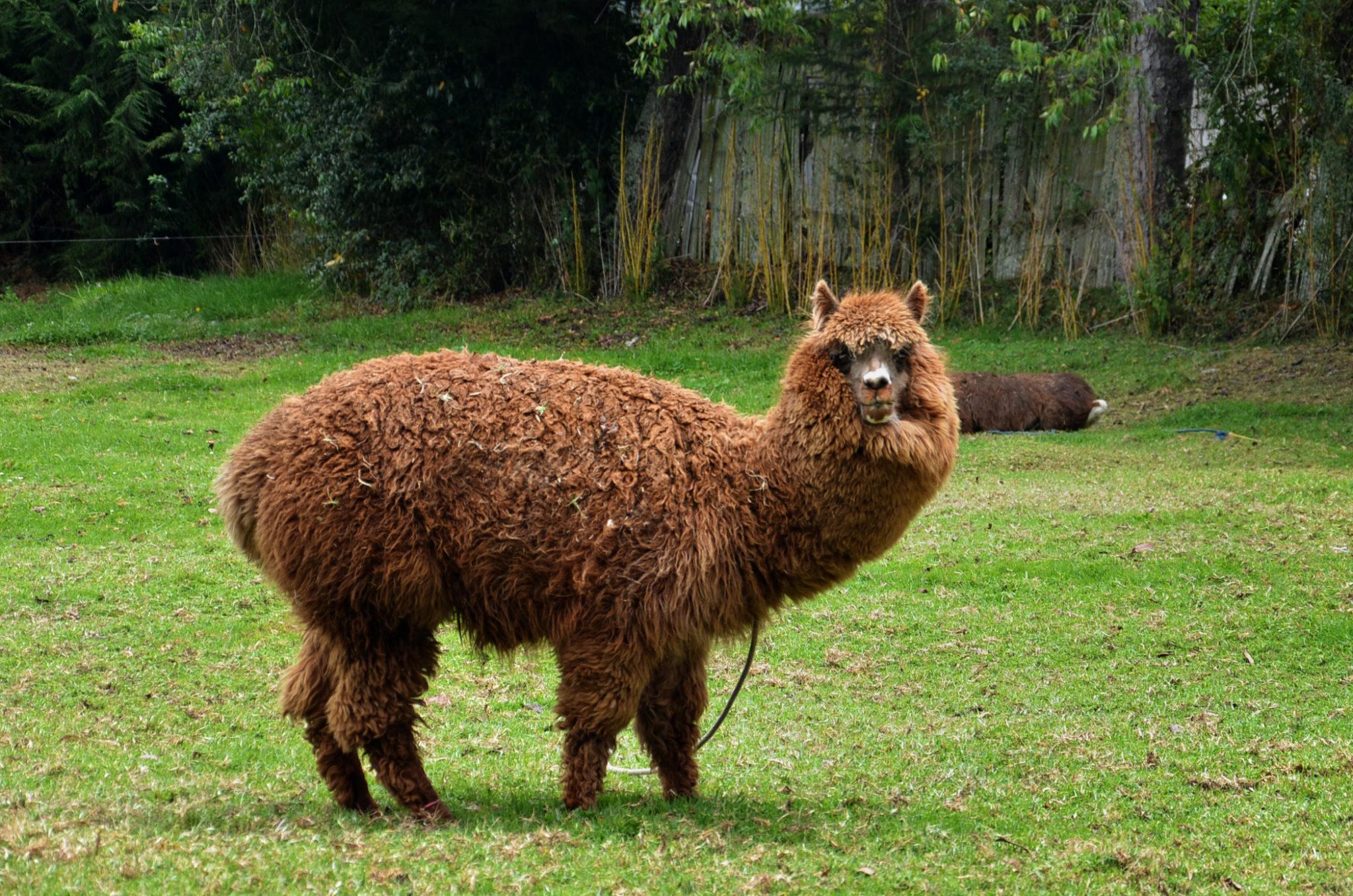 Die Alpakas gelten als wichtige Sehenswürdigkeiten in Ecuador und sind einer unserer Ecuador Reisetipps