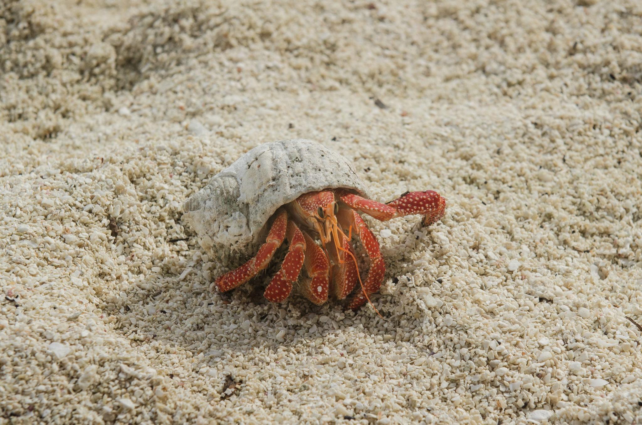 Aitutaki-Cook-Islands-Krabbe