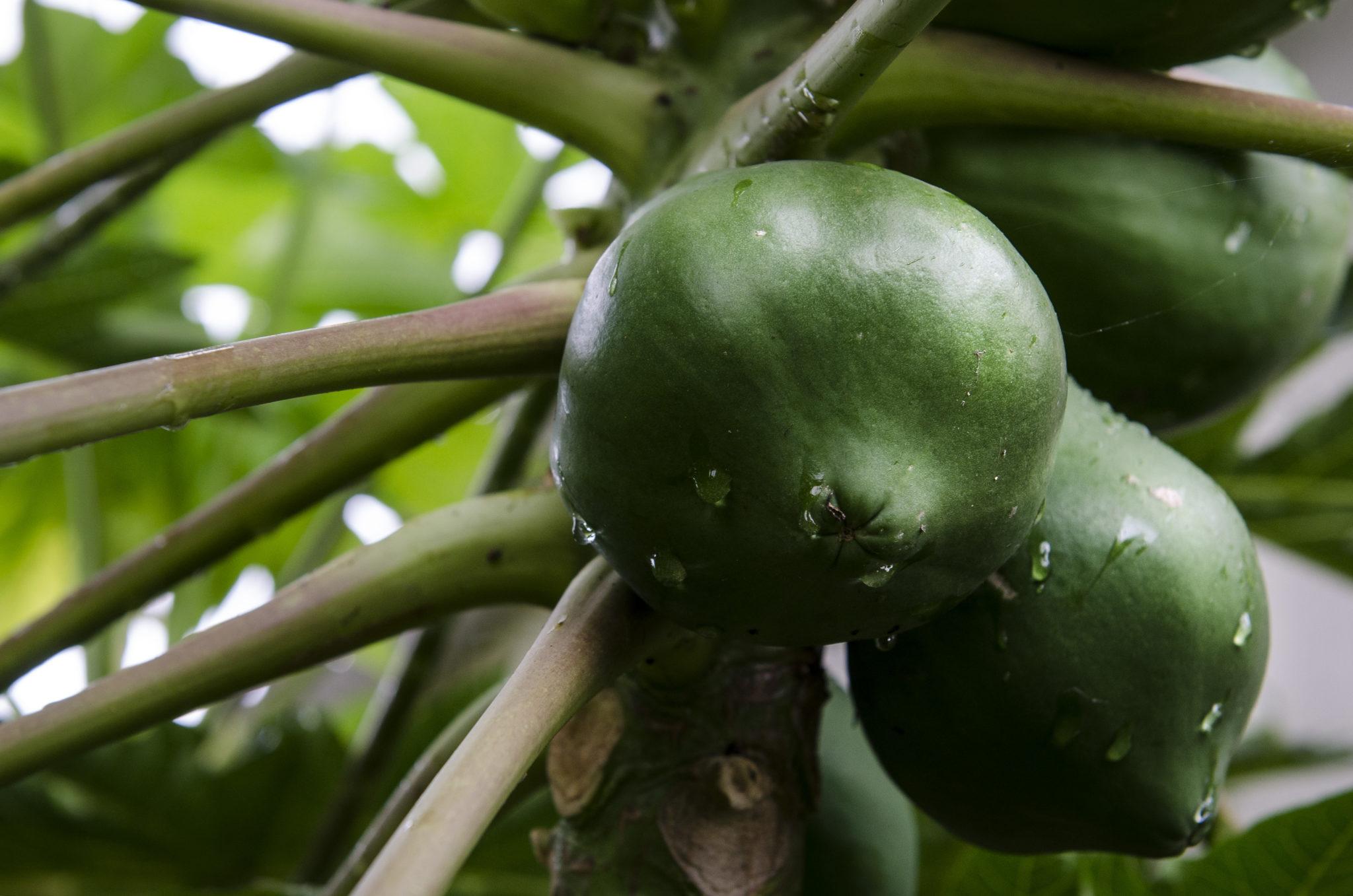 Ishigaki-Japanisch-Kochen-Papaya