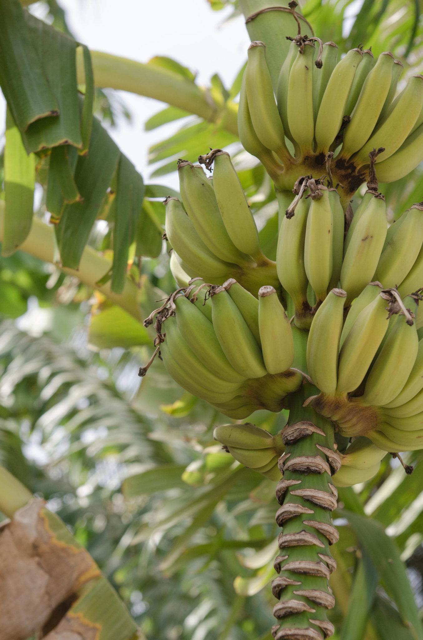 Senegal-Sehenswuerdigkeiten-Bananen