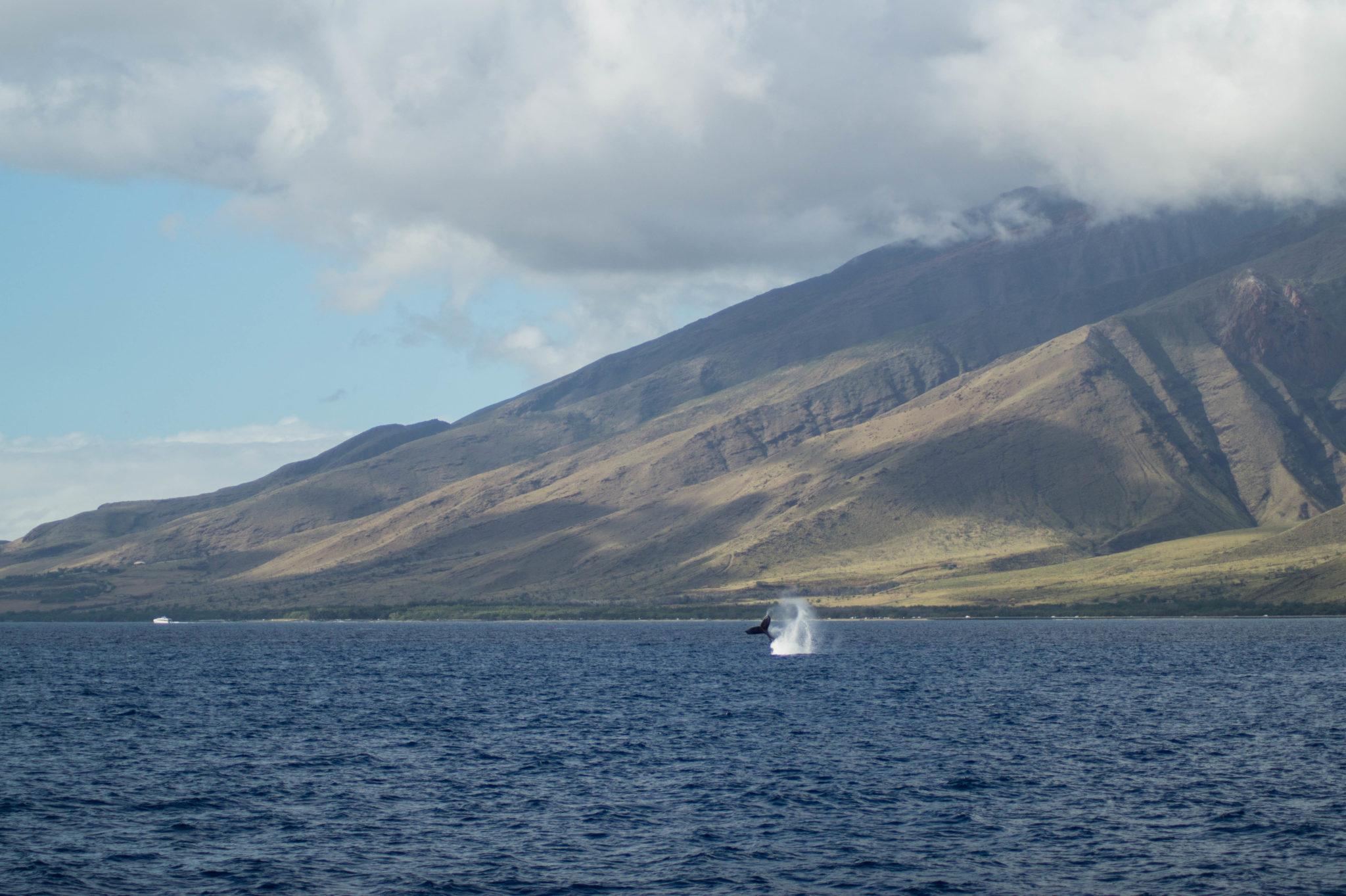 Sehenswürdigkeiten Hawaii: Die Walsaison auf Maui geht von Januar bis März