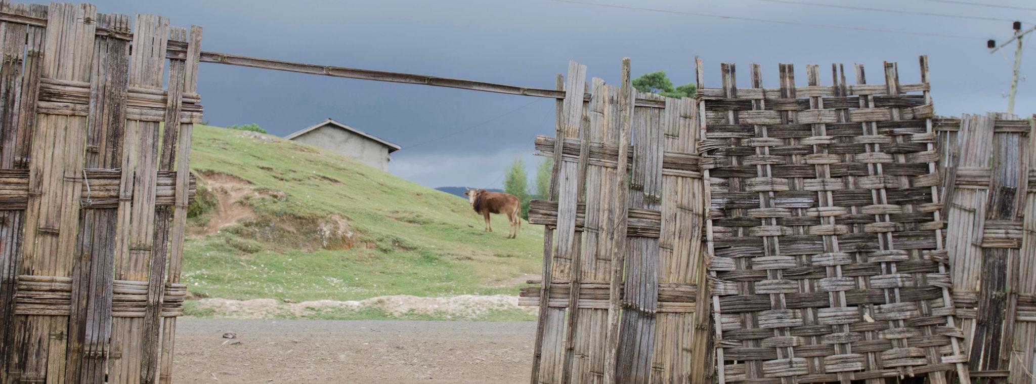 Kühe und Einwohner leben bei den Dorze in Äthiopien in unmittelbarer Nähe