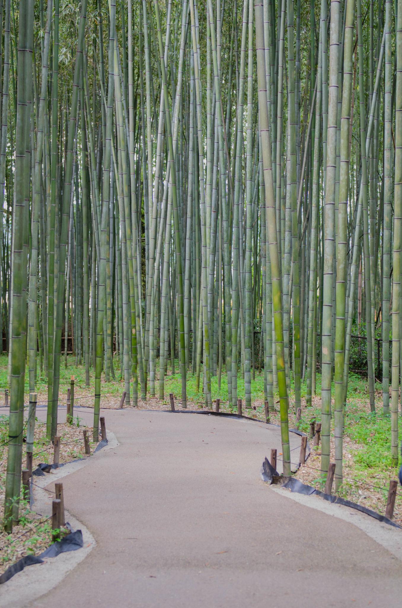Der Bambuswald Arashiyama in der Nähe von Kyoto ist sehenswert.