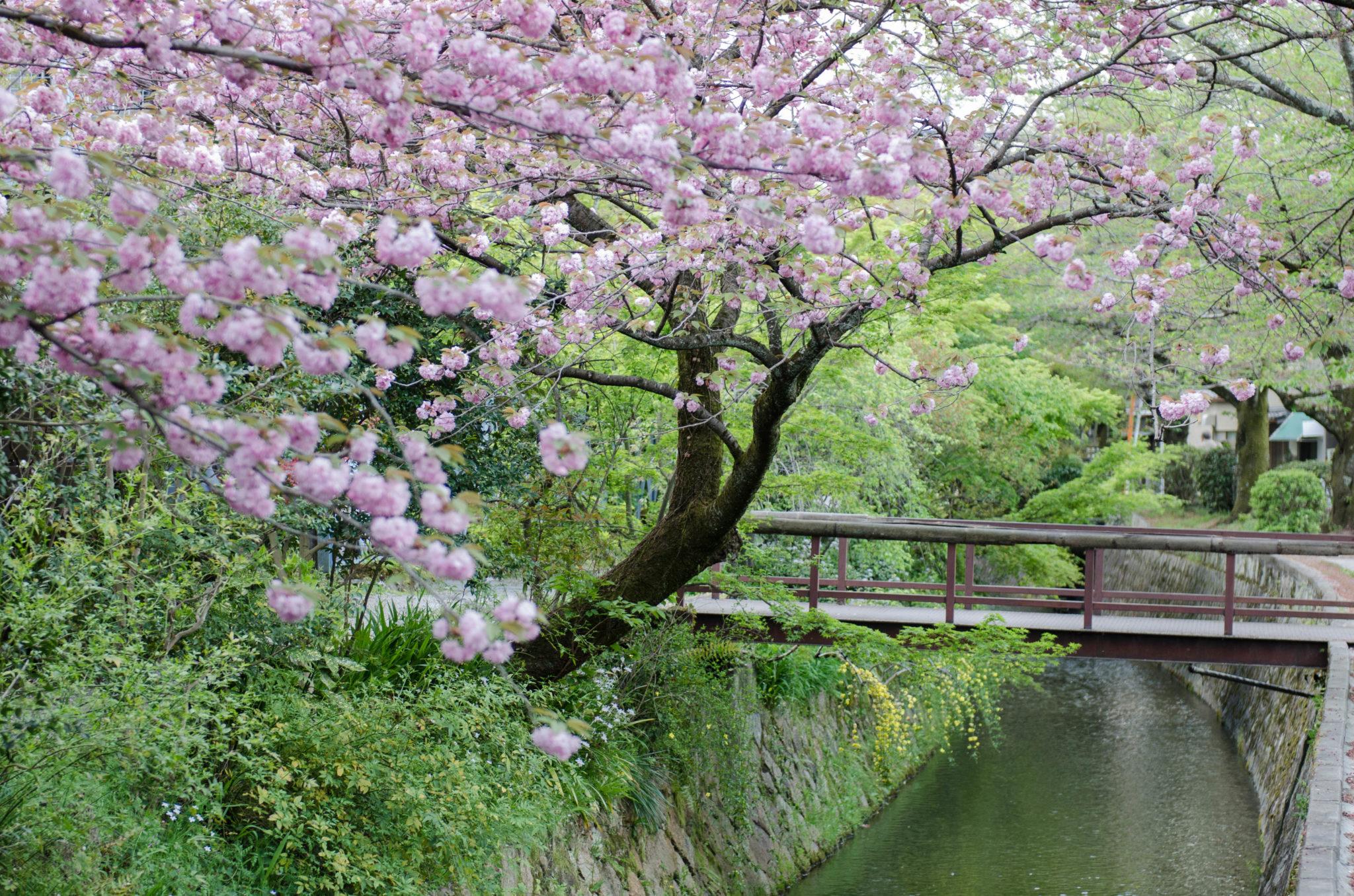 Die Kirschblüte in Japan ist eine ganz besondere Zeit.
