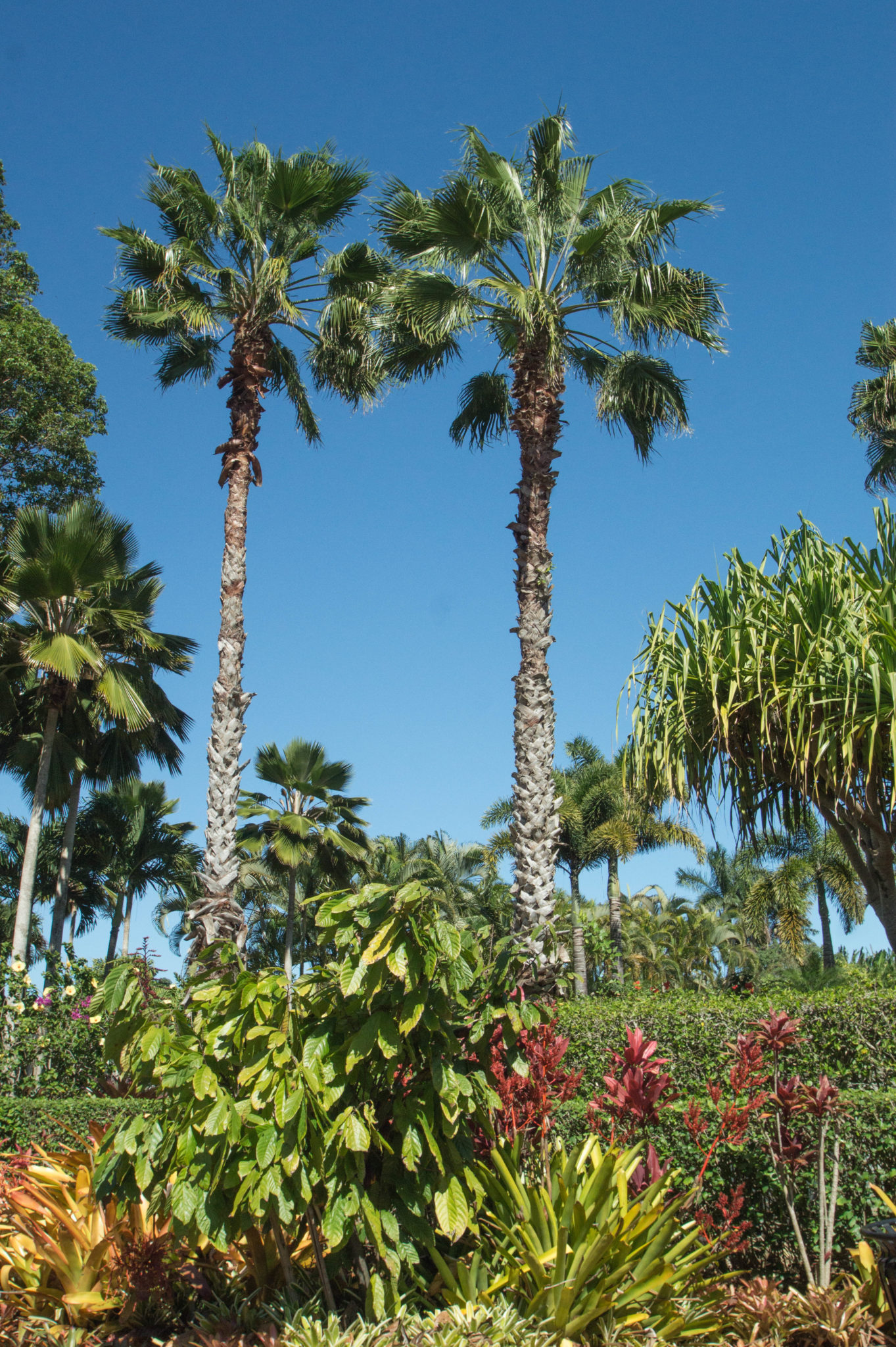 Palmen auf der Dole Plantation Oahu