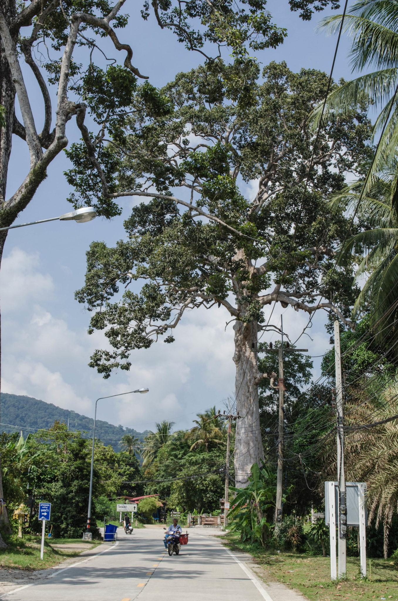 Yan Nai Baum ist der älteste auf der Insel