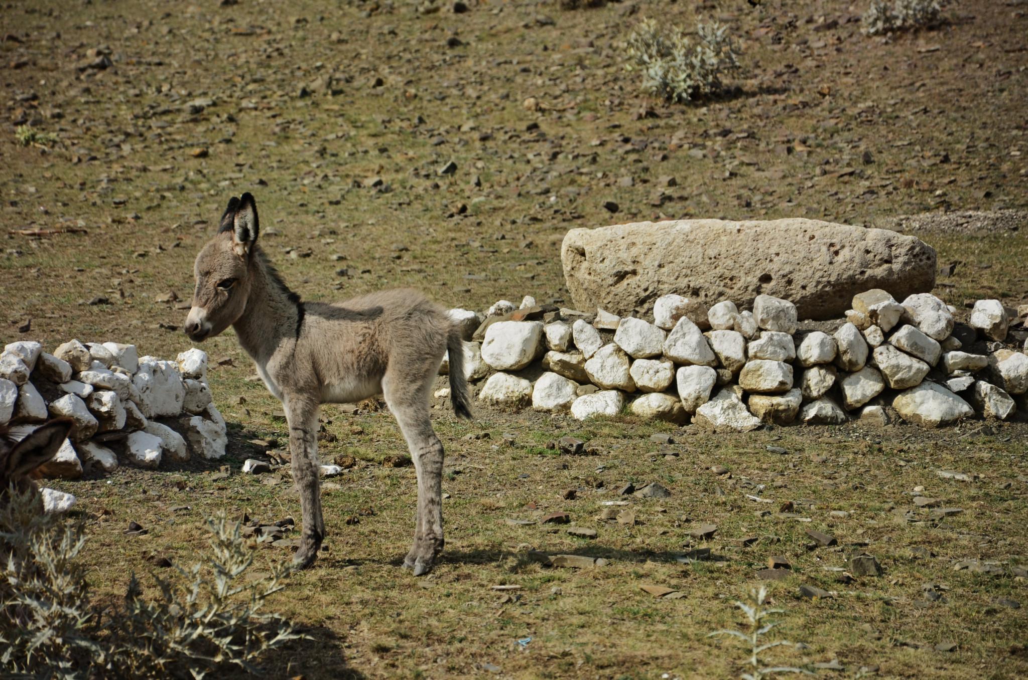 Esel im Shirvan Nationalpark in Aserbaidschan