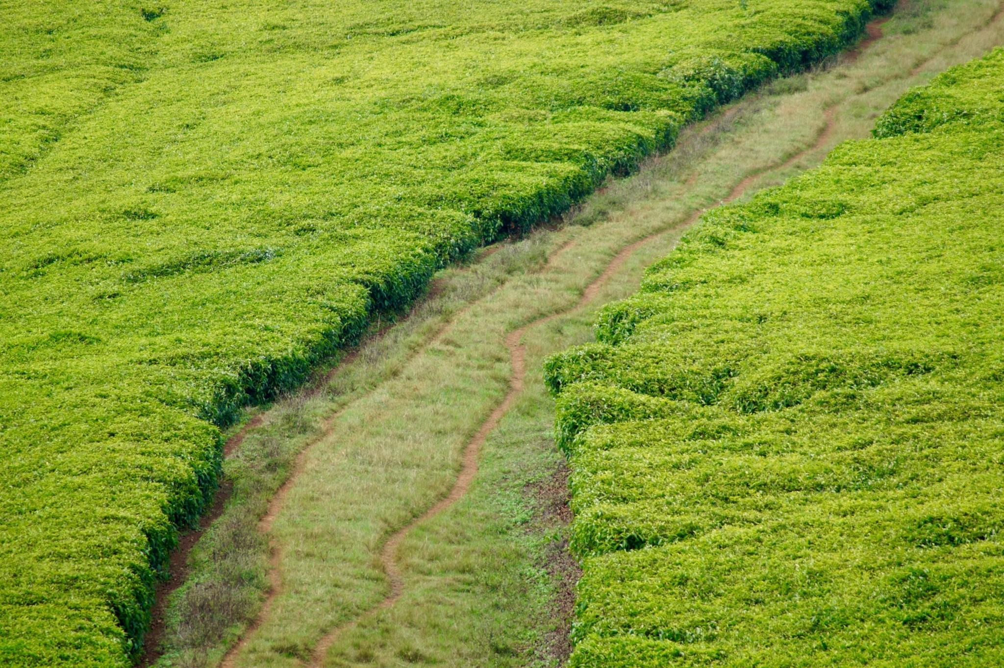 Auch Tee wird in Bonga und Jimma in Äthiopien angebaut