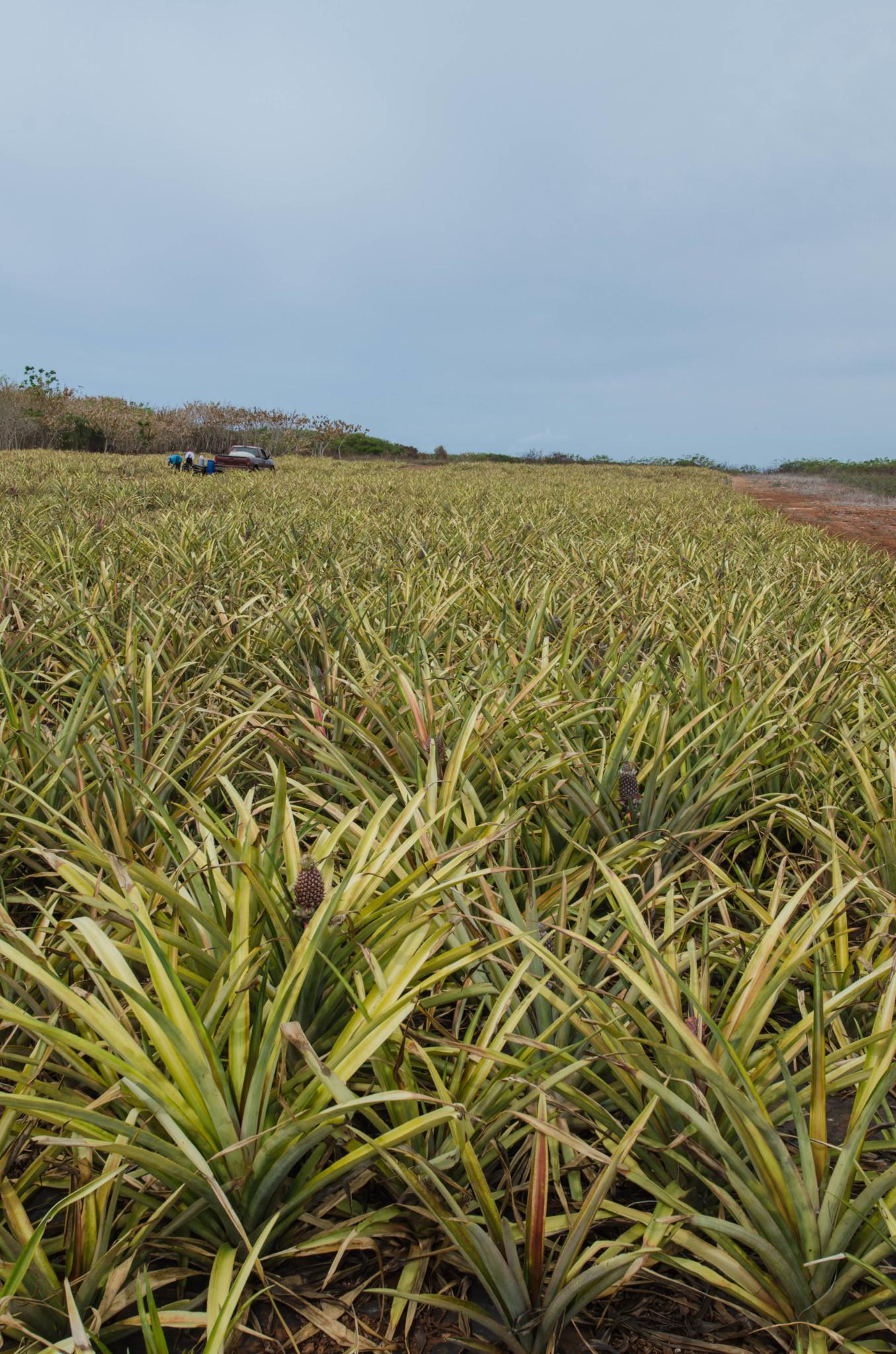 Ananasfeld auf Eleuthera in den Bahamas