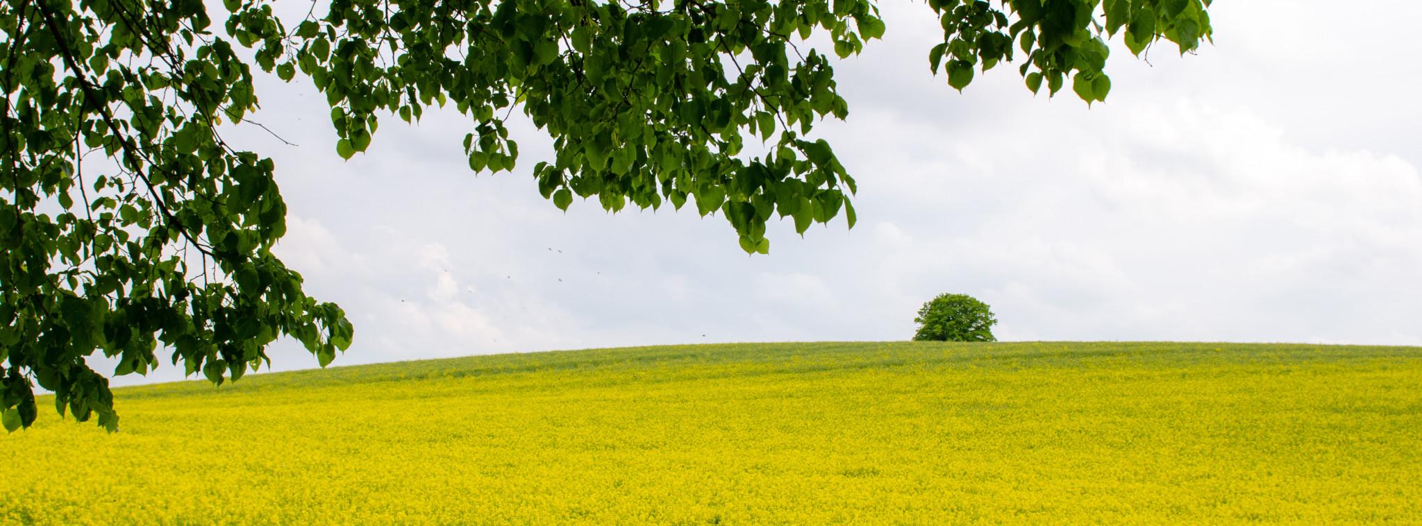 Brandenburg ist berühmt für die vielen Rapsfelder