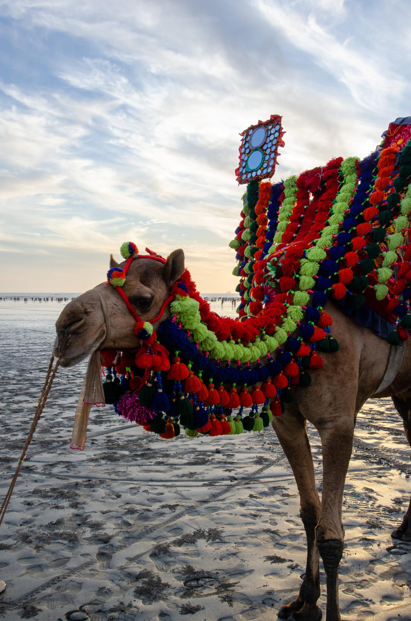 Kamel am Clifton Beach