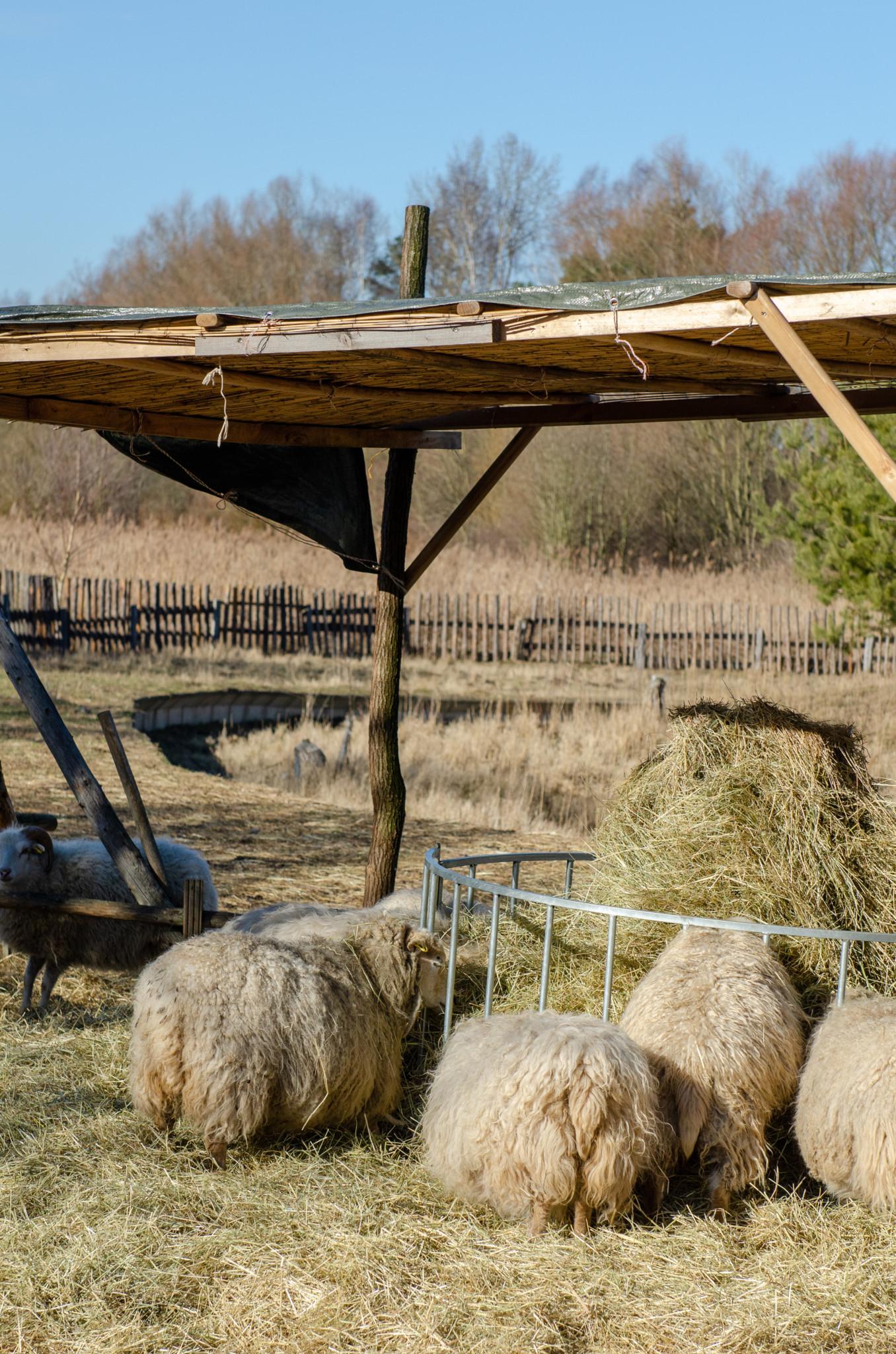 Schafe in der Blumberger Mühle