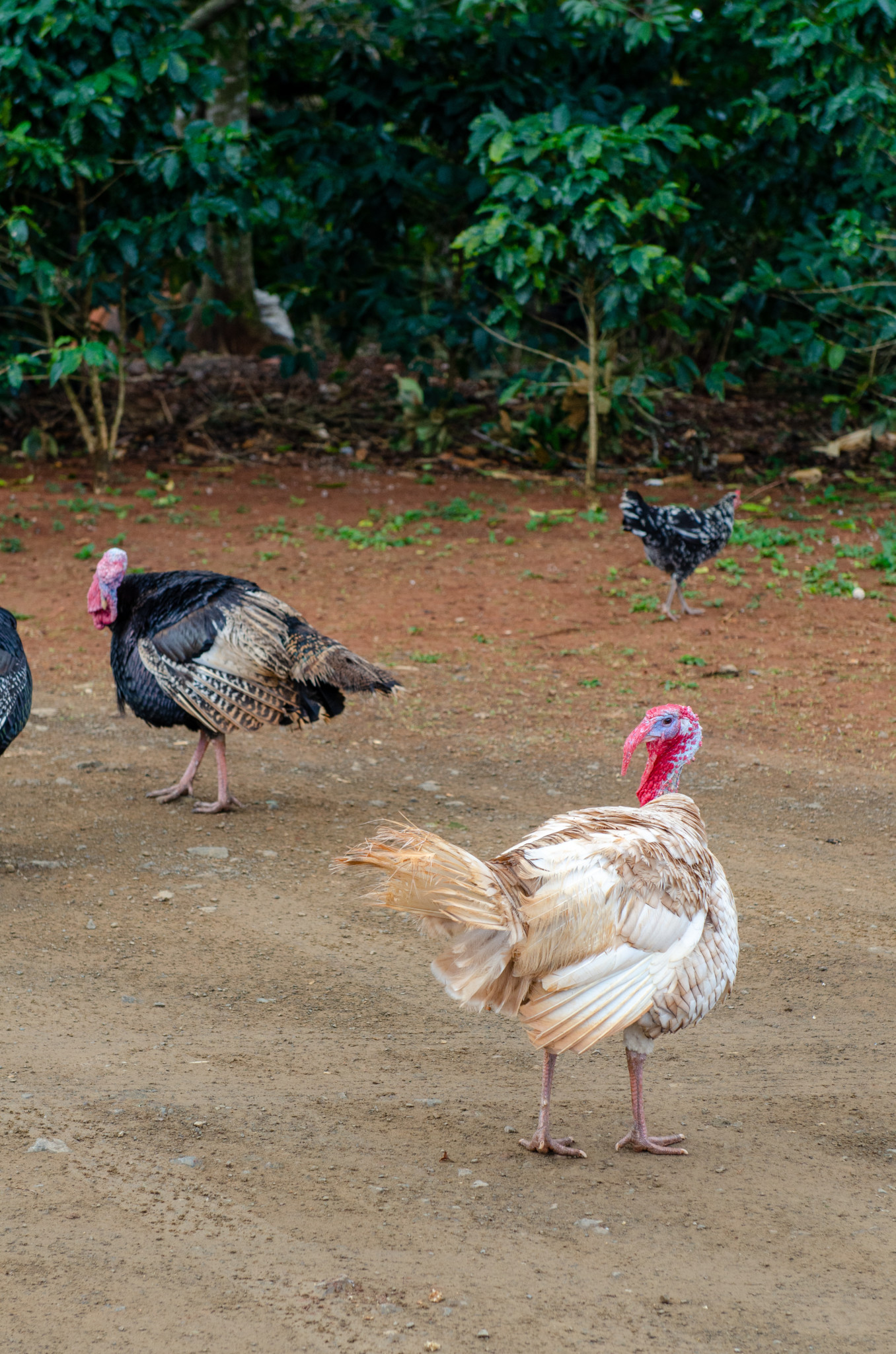Hühner im Nationalpark
