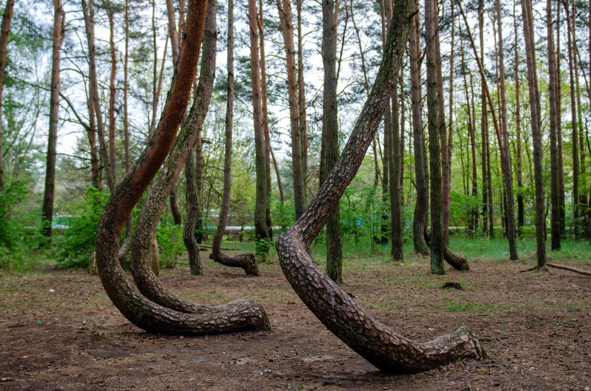 Der Krumme Wald in Gryfino ist definitiv ein sehenswertes Ausflugsziel ab Berlin