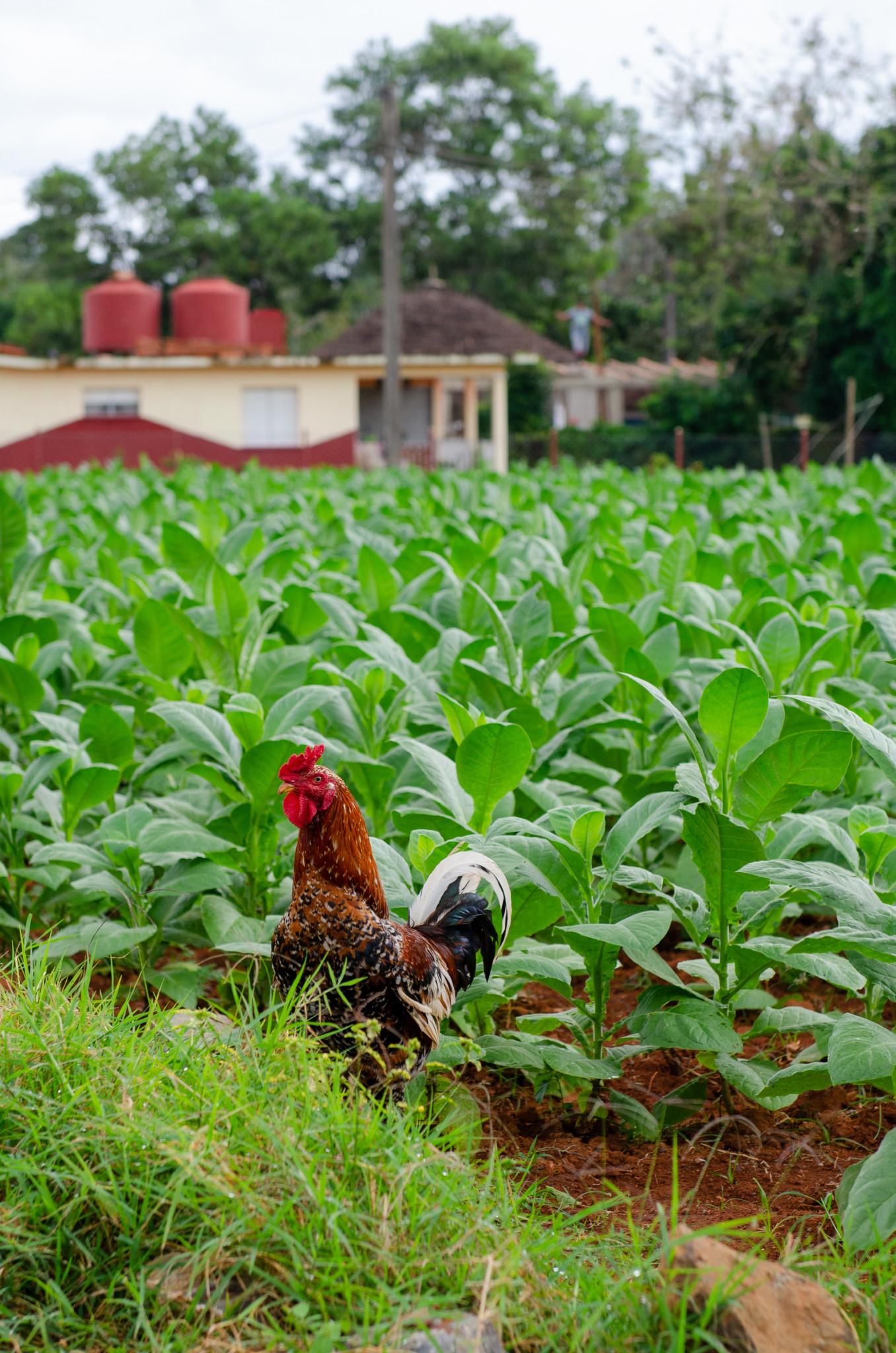 Huhn im Tabakfeld in Kuba