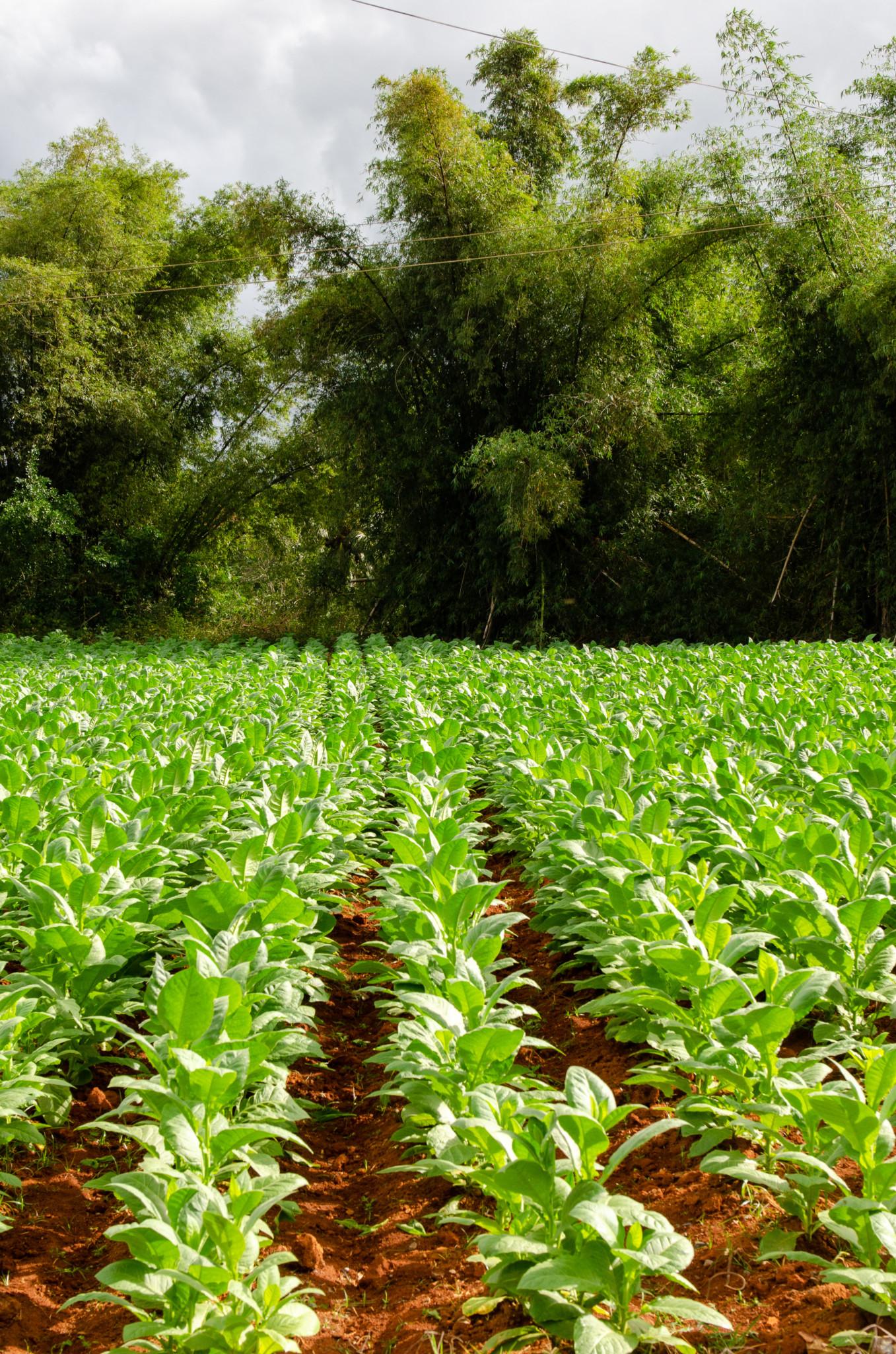 Tabakfelder in Pinar del Rio in kann man ganz einfach besuchen