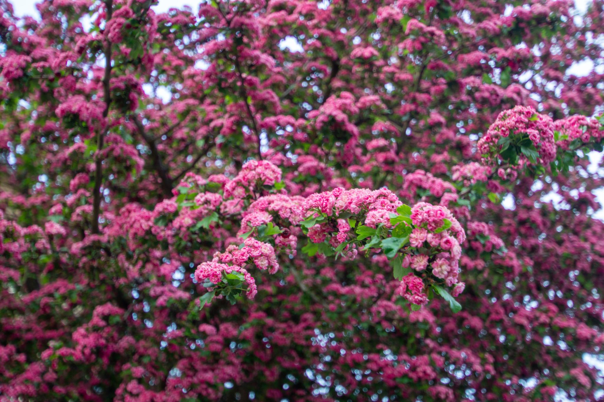 Kirschblüte in Angermünde