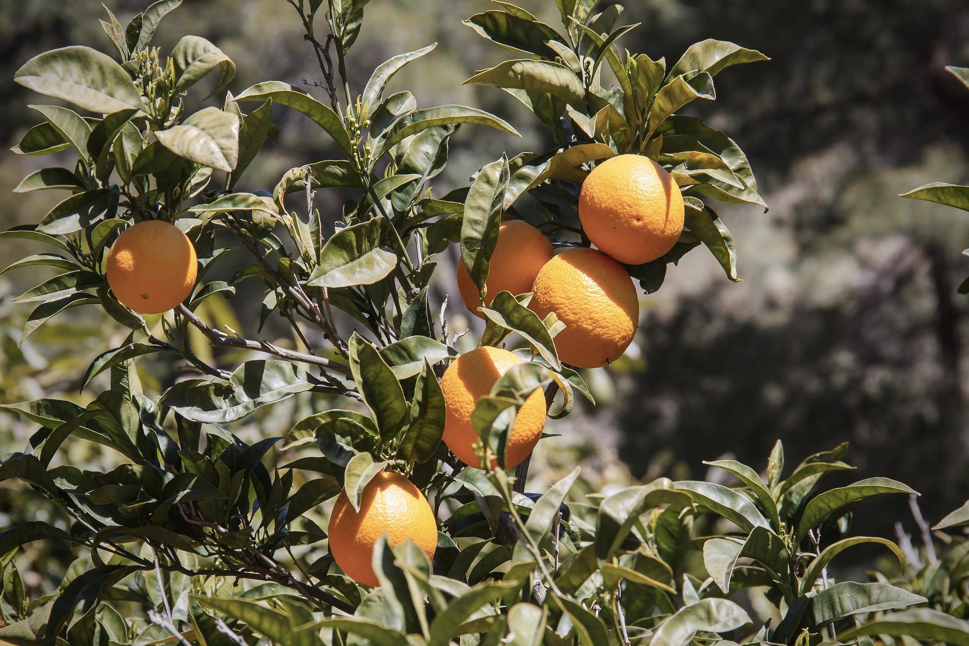 Orangenbaum im Süden Europas