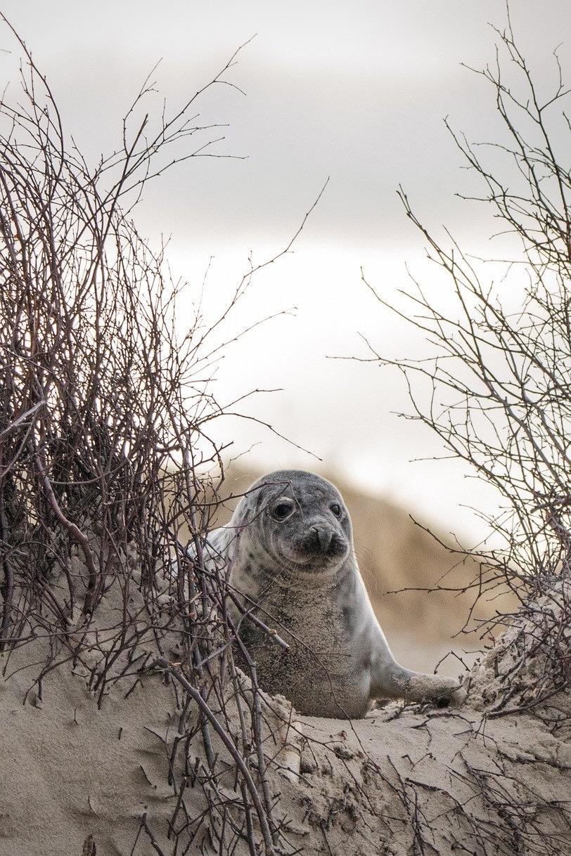 Eine Robbe in Helgoland