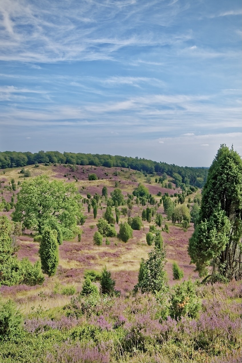 Wenn die Lüneburger Heide blüht ist sie eines der beliebtesten Hamburg Ausflugsziele