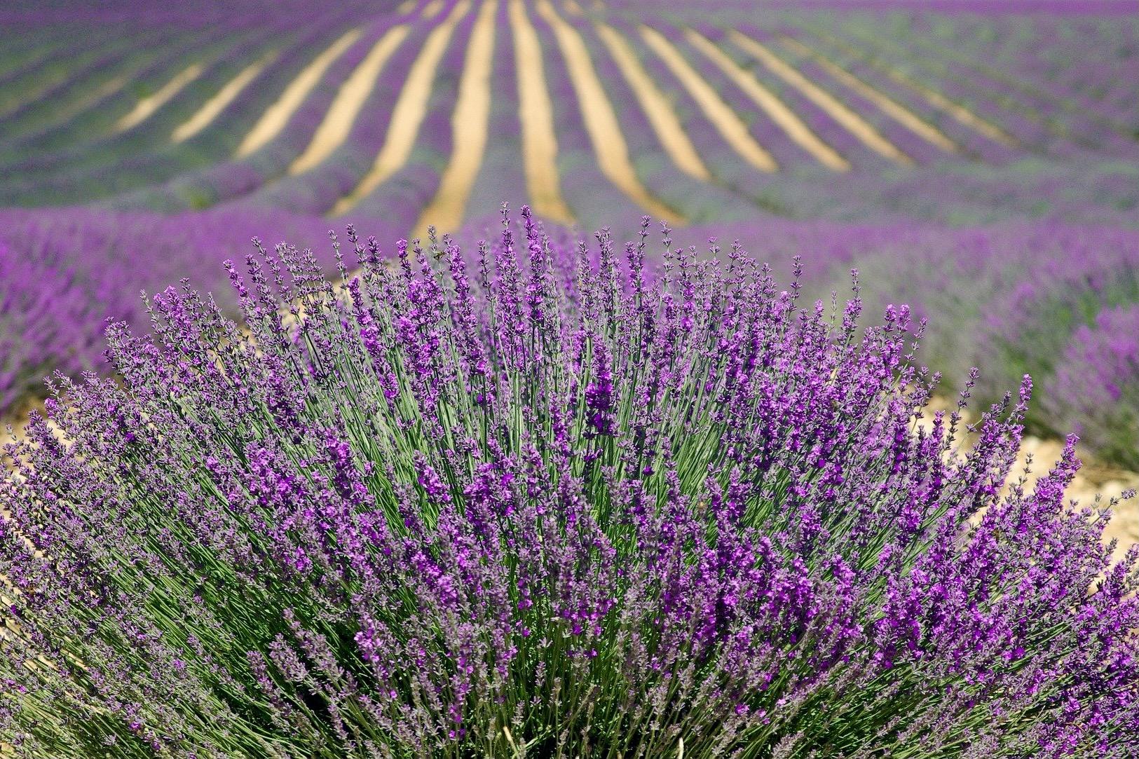 Lavendelfelder sind für die Provence bekannt