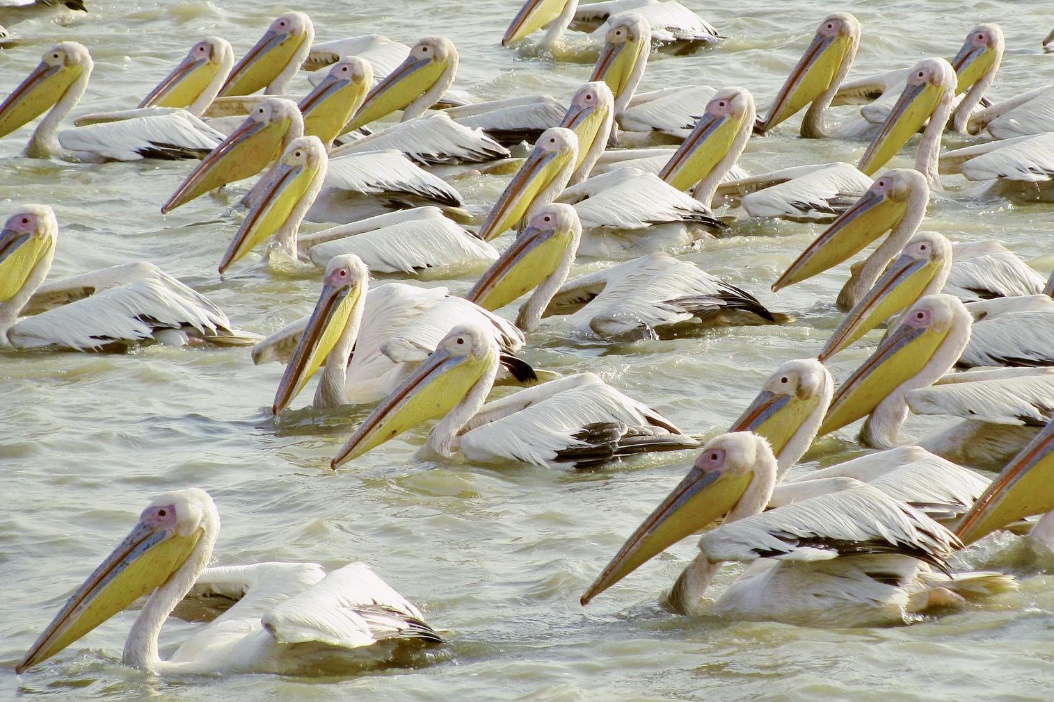 Der Nationalpark Djoudj gehört mit seinen Vögeln zu den besten Senegal Sehenswürdigkeiten