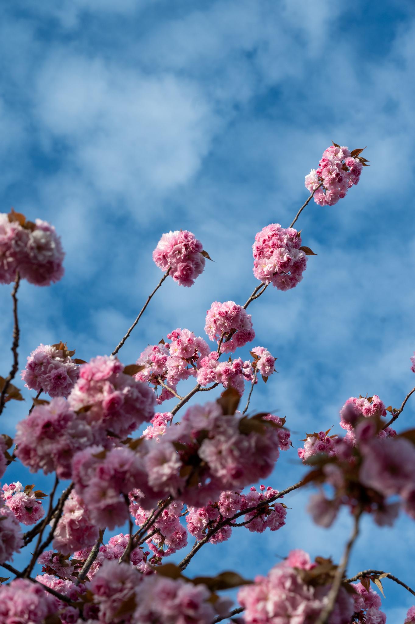 Kirschblüte in Prenzlauer Berg