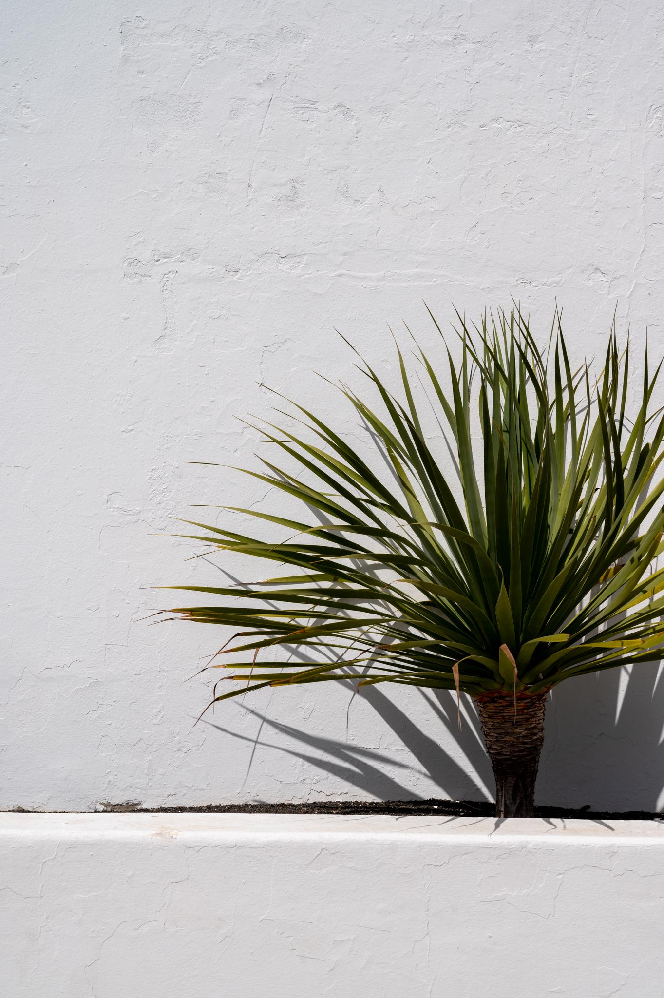 Pflanze auf Lanzarote