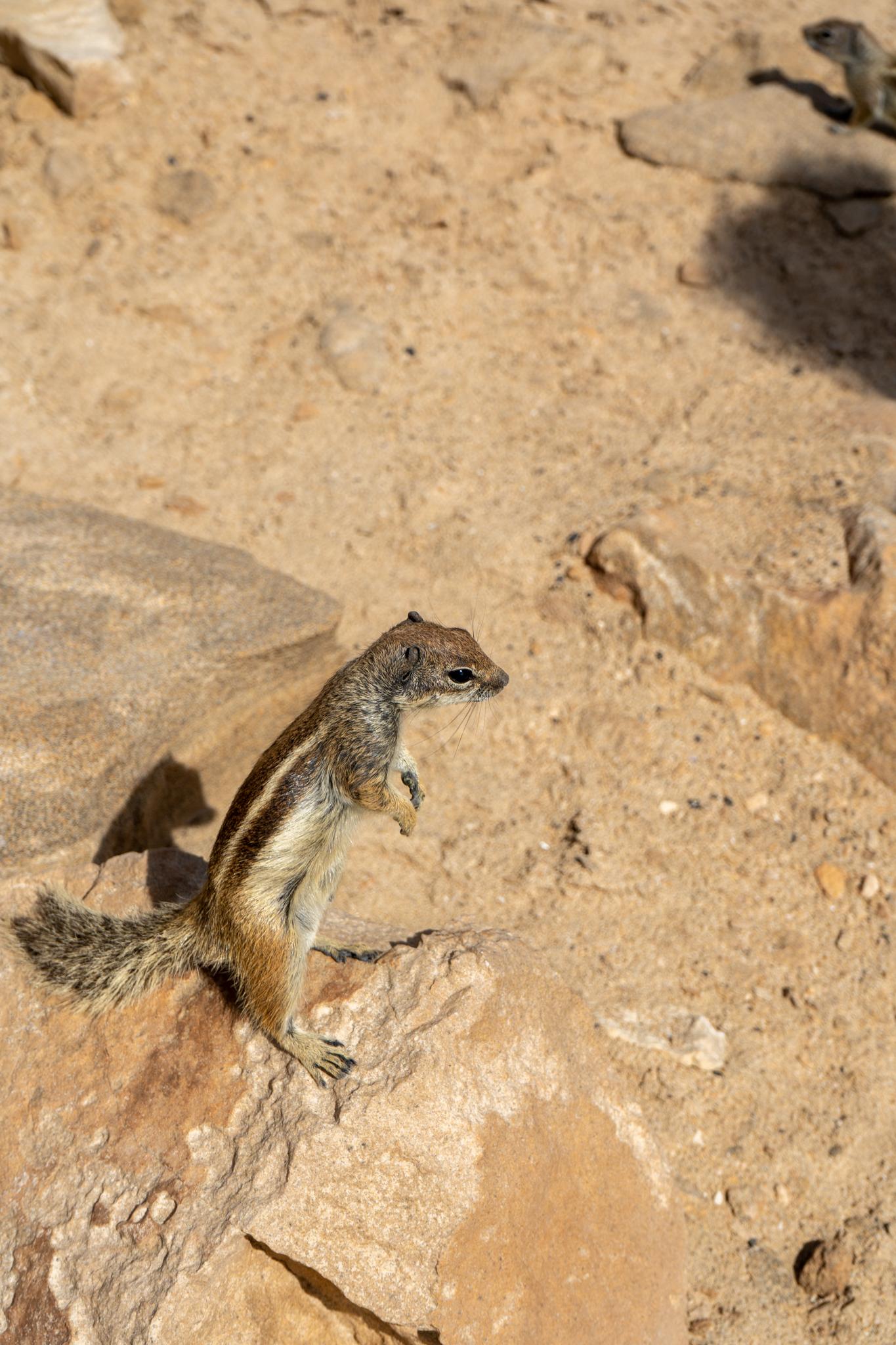 Erdhörnchen in La Pared